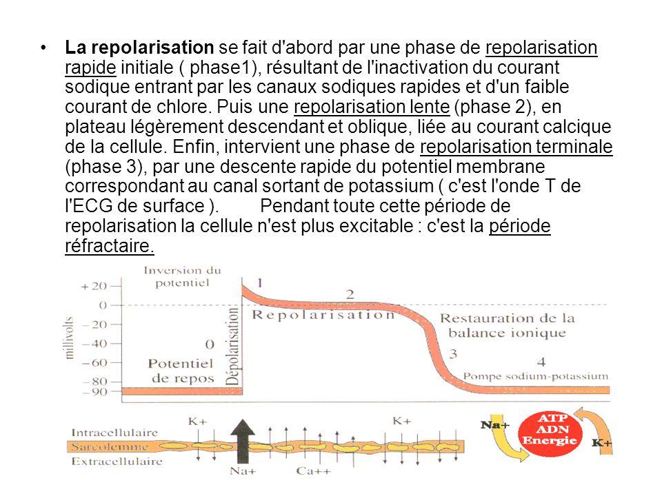La repolarisation se fait d abord par une phase de repolarisation rapide initiale ( phase1), résultant de l inactivation du courant sodique entrant par les canaux sodiques rapides et d un faible courant de chlore.