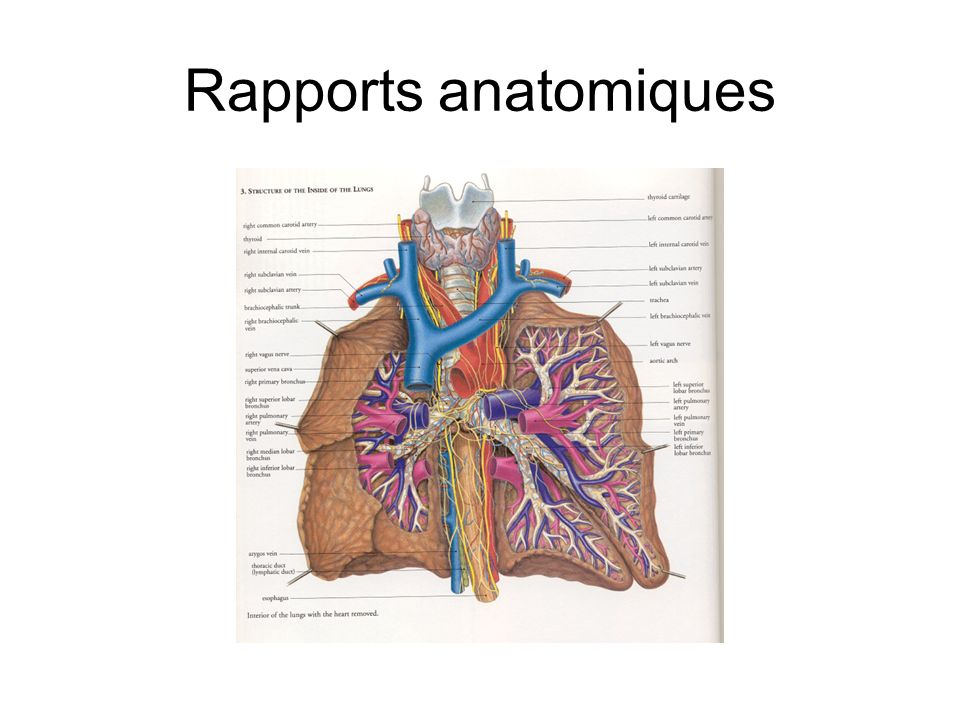 Rapports anatomiques