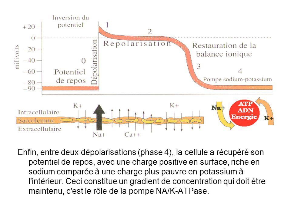 Enfin, entre deux dépolarisations (phase 4), la cellule a récupéré son potentiel de repos, avec une charge positive en surface, riche en sodium comparée à une charge plus pauvre en potassium à l intérieur.