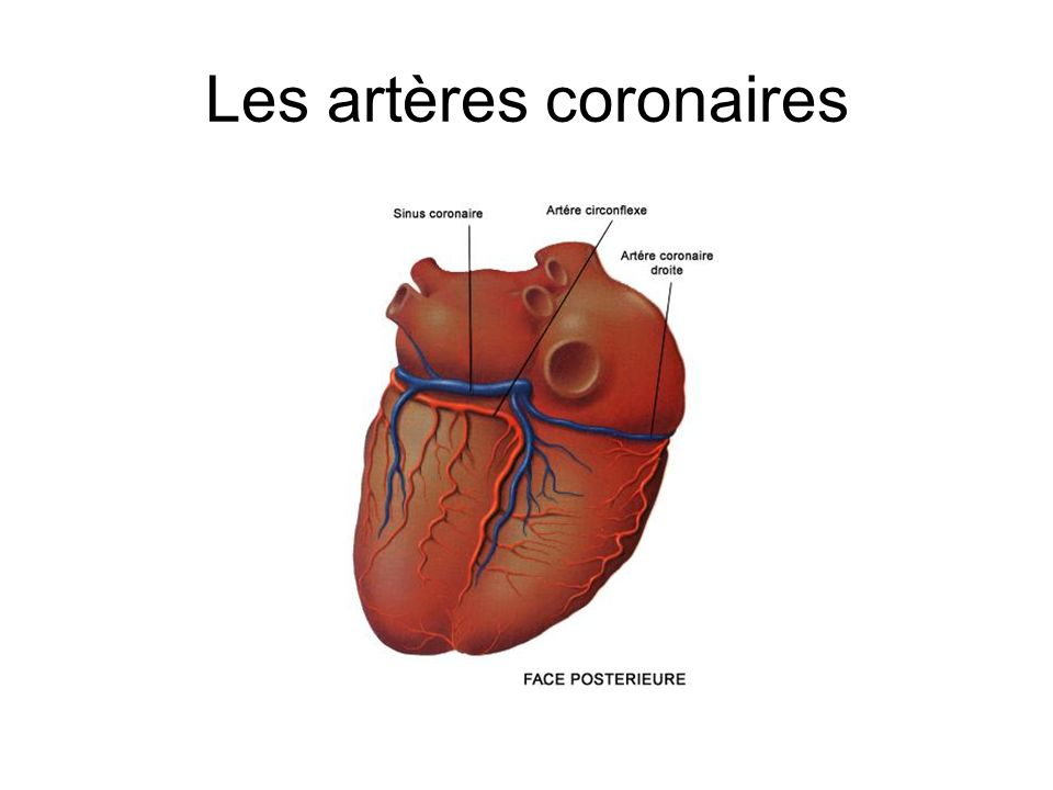 Les artères coronaires