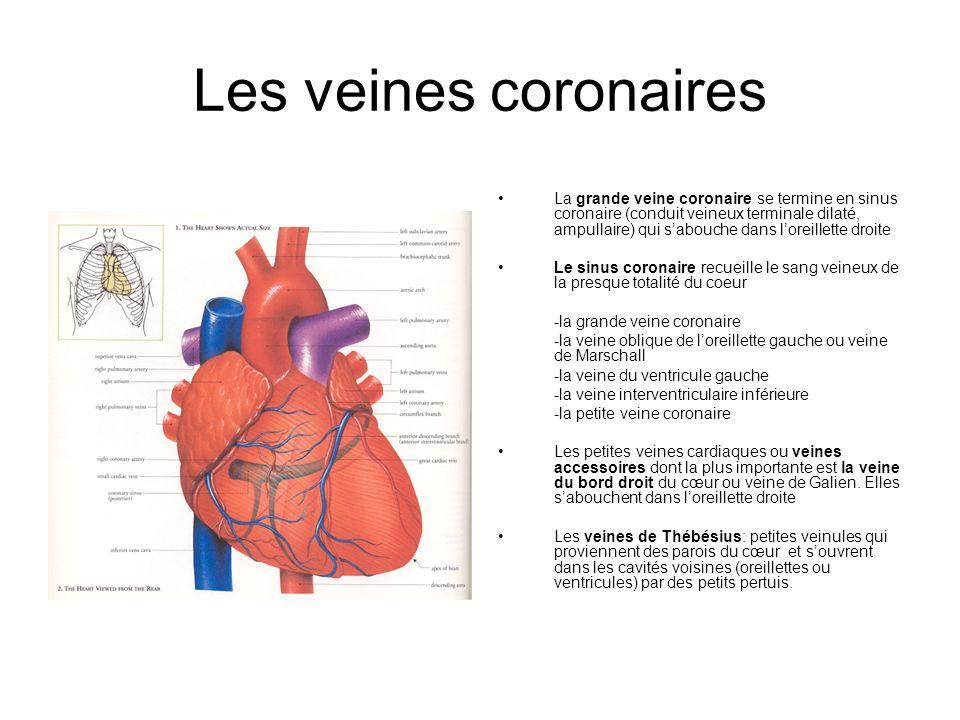 Les veines coronaires