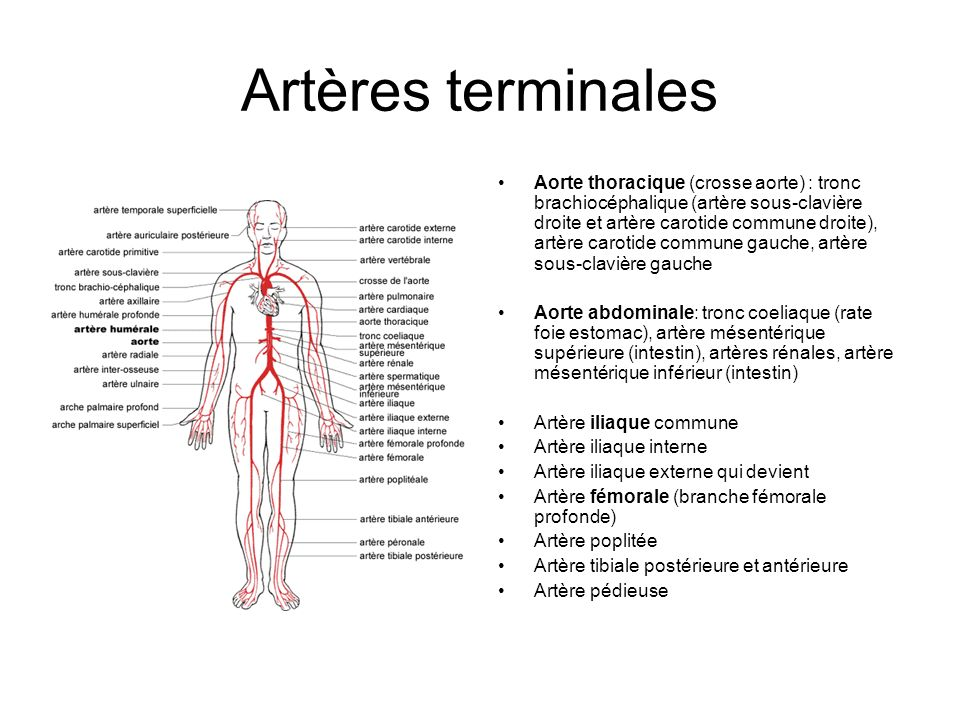 Artères terminales