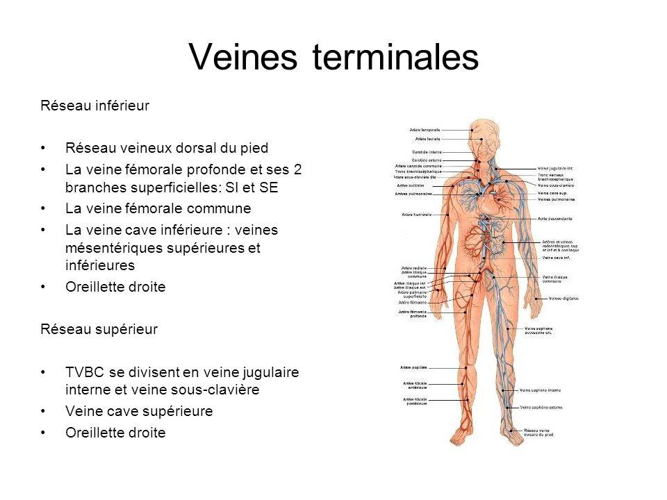 Veines terminales Réseau inférieur Réseau veineux dorsal du pied