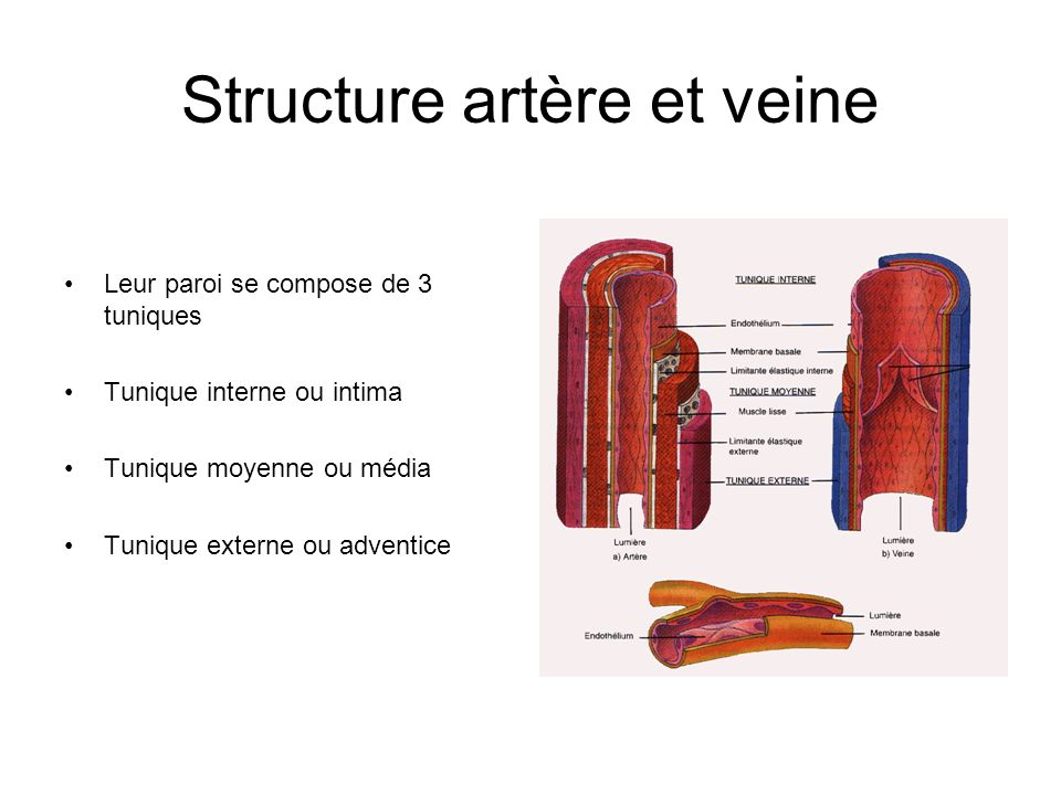 Structure artère et veine