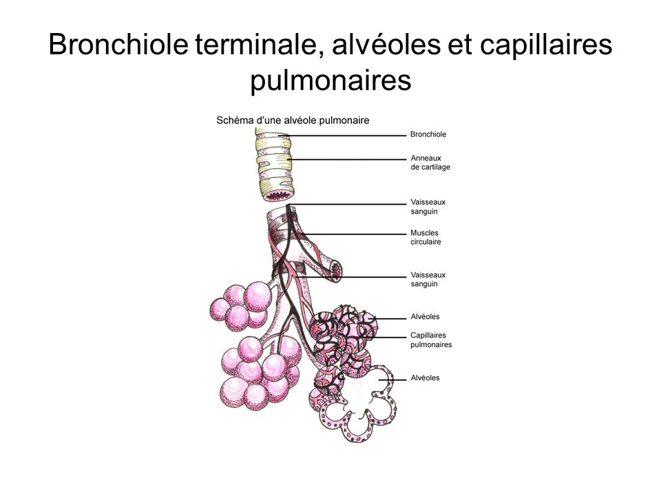 Bronchiole terminale, alvéoles et capillaires pulmonaires