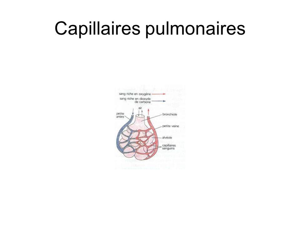 Capillaires pulmonaires