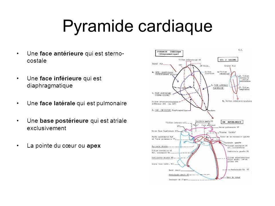 Pyramide cardiaque Une face antérieure qui est sterno-costale