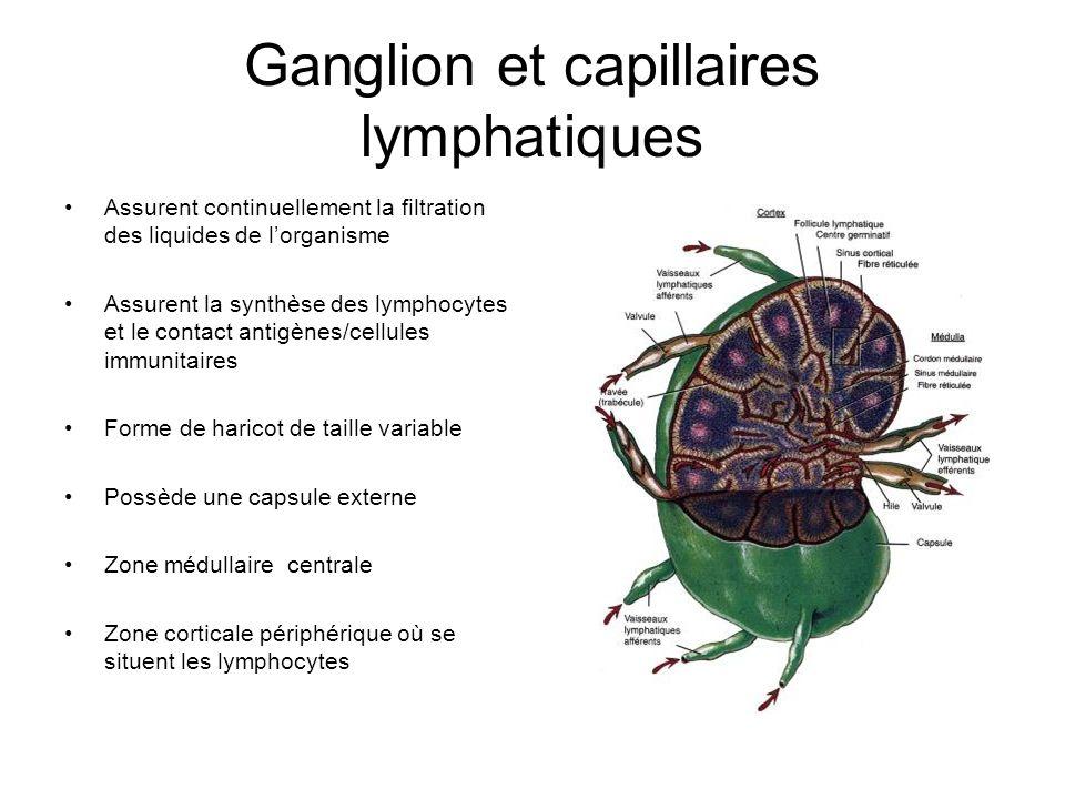 Ganglion et capillaires lymphatiques