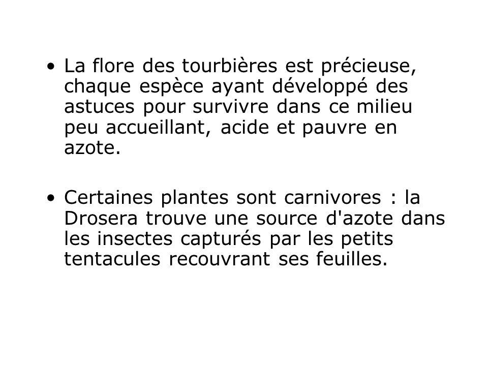 La flore des tourbières est précieuse, chaque espèce ayant développé des astuces pour survivre dans ce milieu peu accueillant, acide et pauvre en azote.