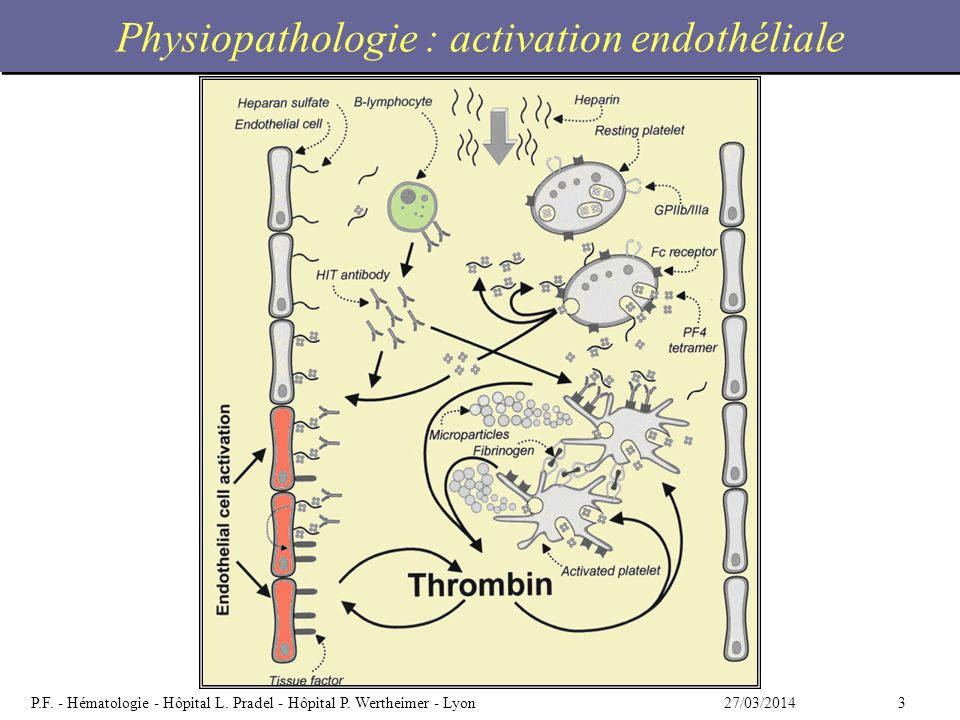 Physiopathologie : activation endothéliale