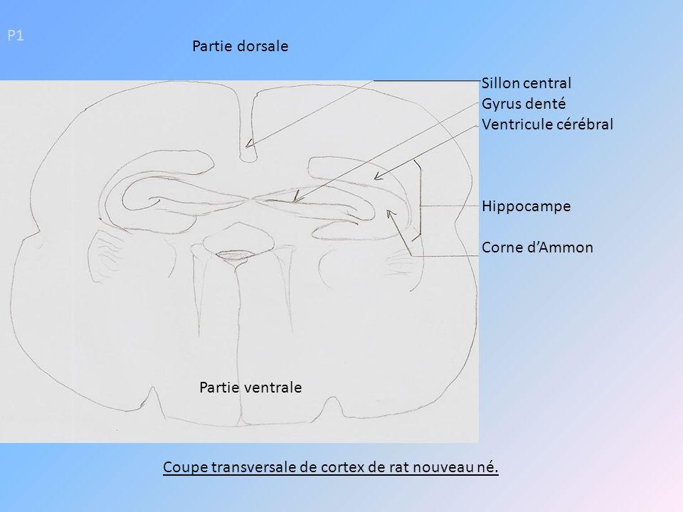 Coupe transversale de cortex de rat nouveau né.