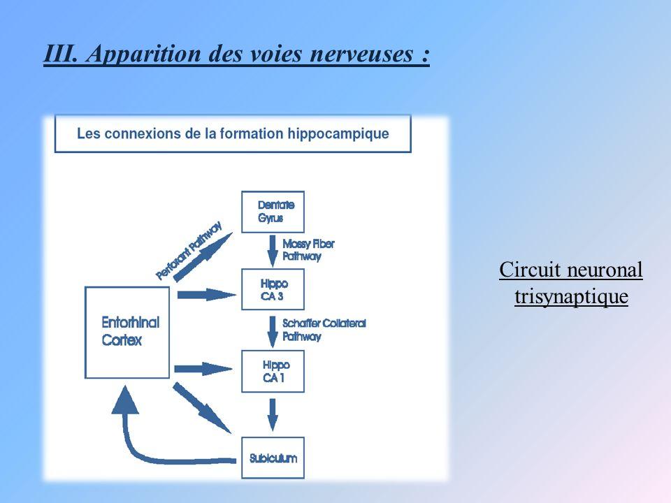 III. Apparition des voies nerveuses :