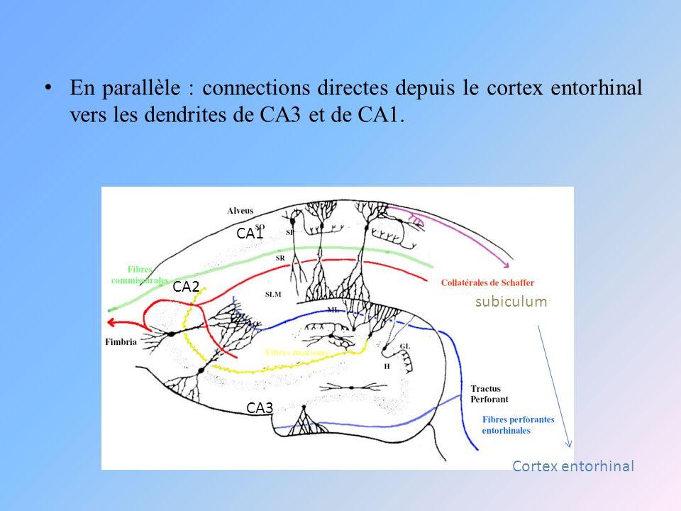 En parallèle : connections directes depuis le cortex entorhinal vers les dendrites de CA3 et de CA1.