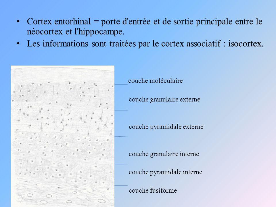 Les informations sont traitées par le cortex associatif : isocortex.