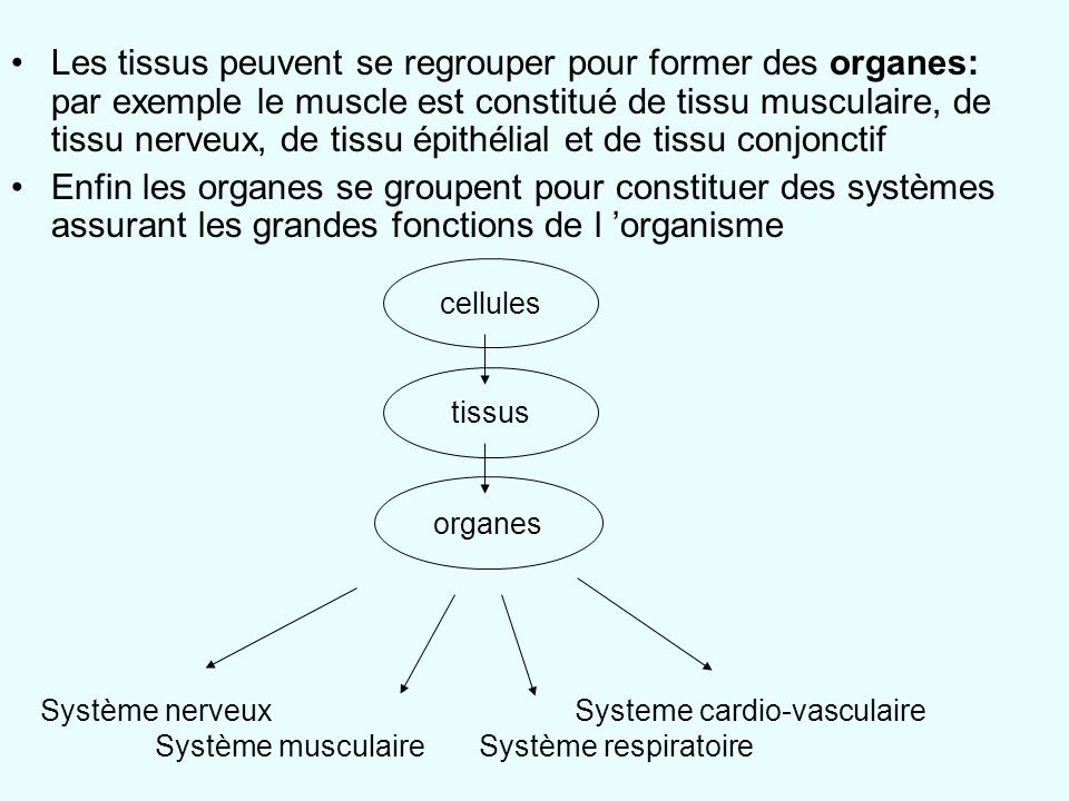 Les tissus peuvent se regrouper pour former des organes: par exemple le muscle est constitué de tissu musculaire, de tissu nerveux, de tissu épithélial et de tissu conjonctif