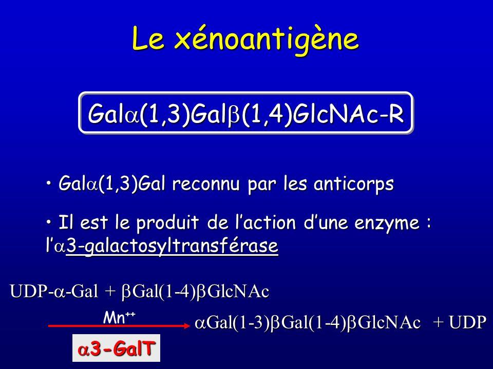 Le xénoantigène Gala(1,3)Galb(1,4)GlcNAc-R