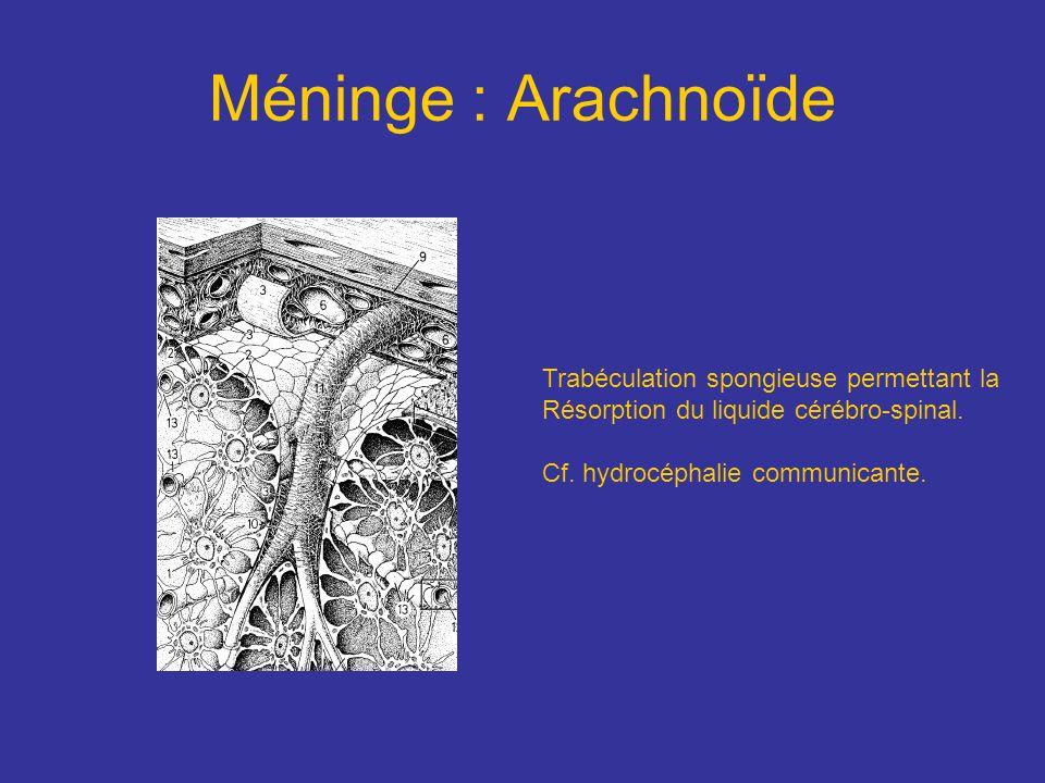Méninge : Arachnoïde Trabéculation spongieuse permettant la