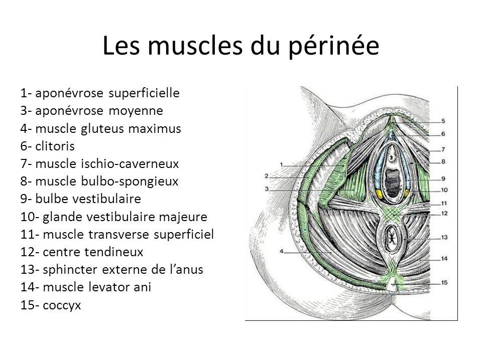 Les muscles du périnée