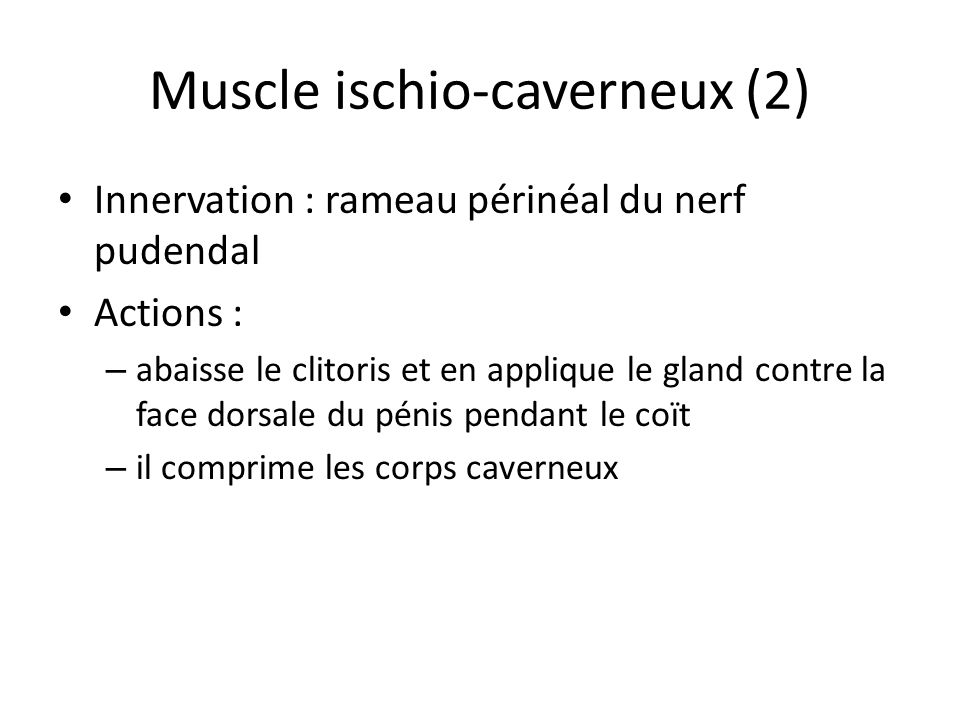 Muscle ischio-caverneux (2)