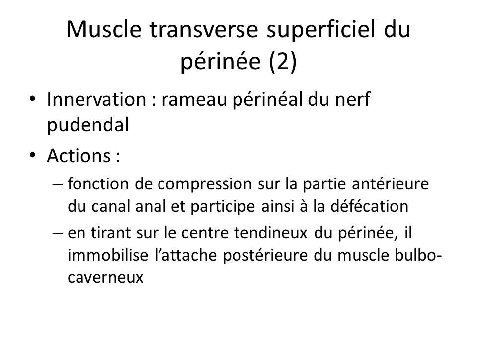 Muscle transverse superficiel du périnée (2)
