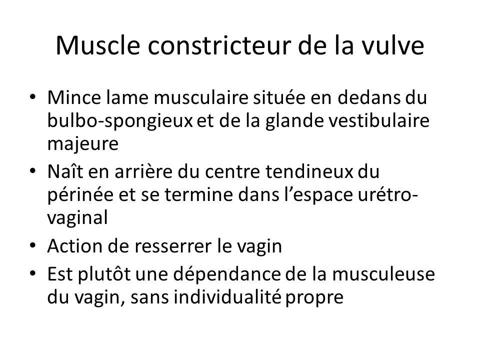 Muscle constricteur de la vulve