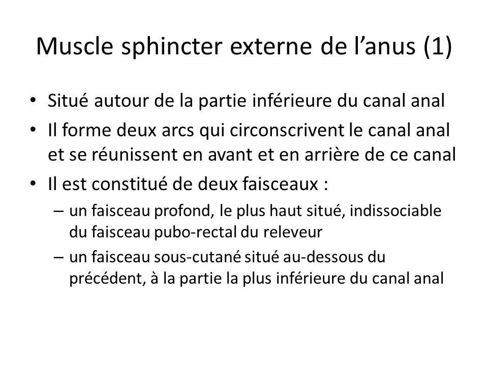 Muscle sphincter externe de l'anus (1)