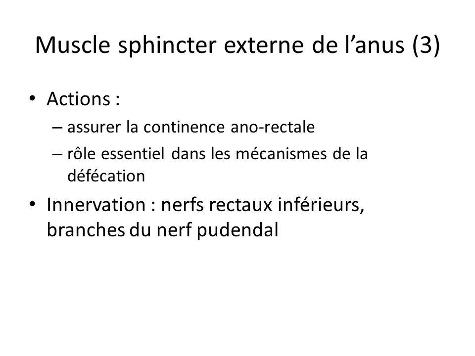 Muscle sphincter externe de l'anus (3)