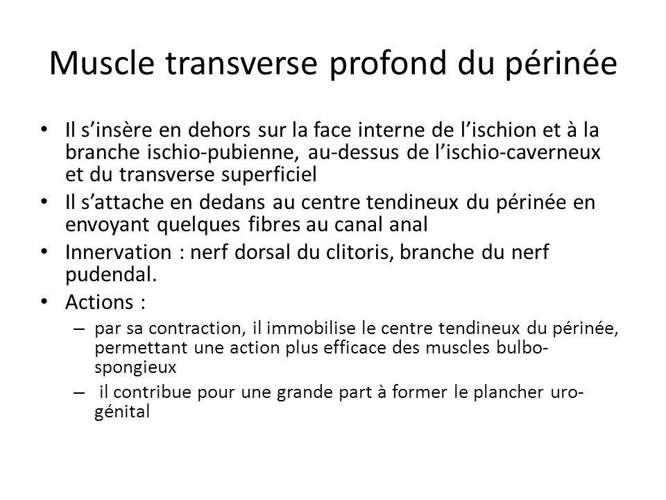 Muscle transverse profond du périnée