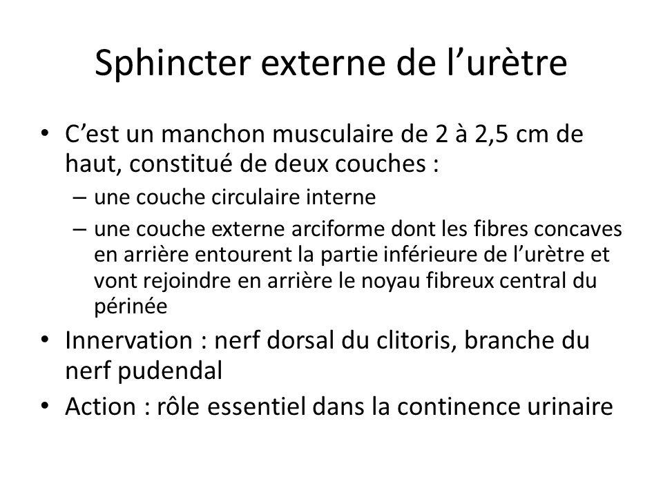 Sphincter externe de l'urètre