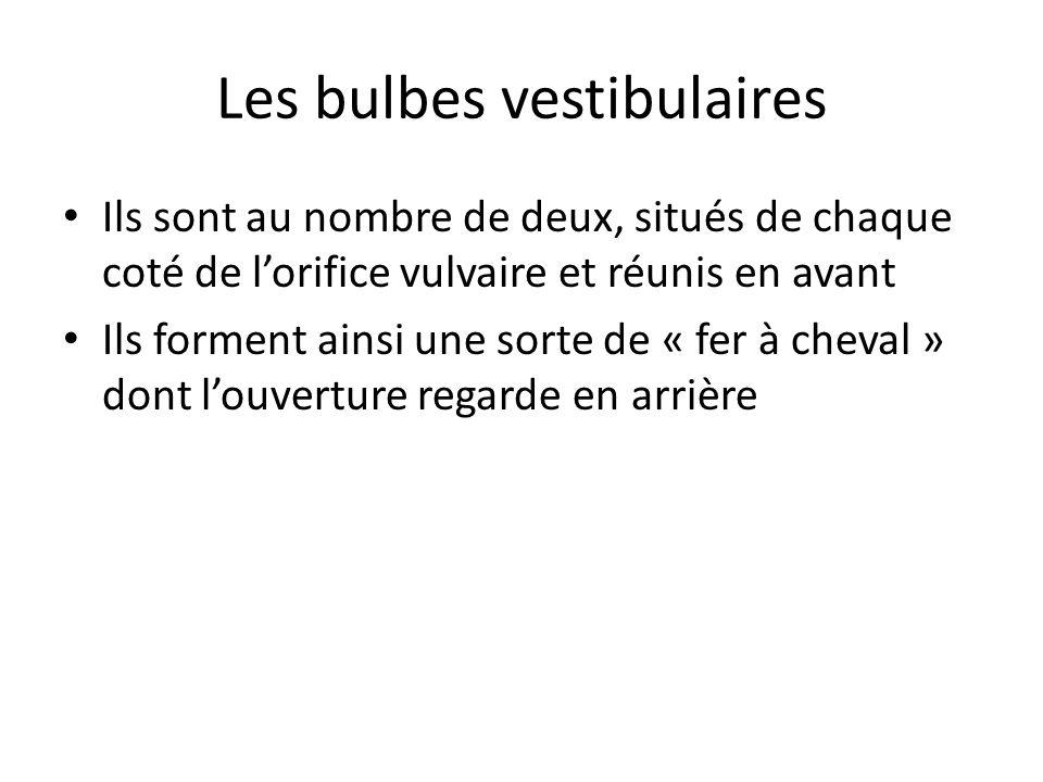 Les bulbes vestibulaires