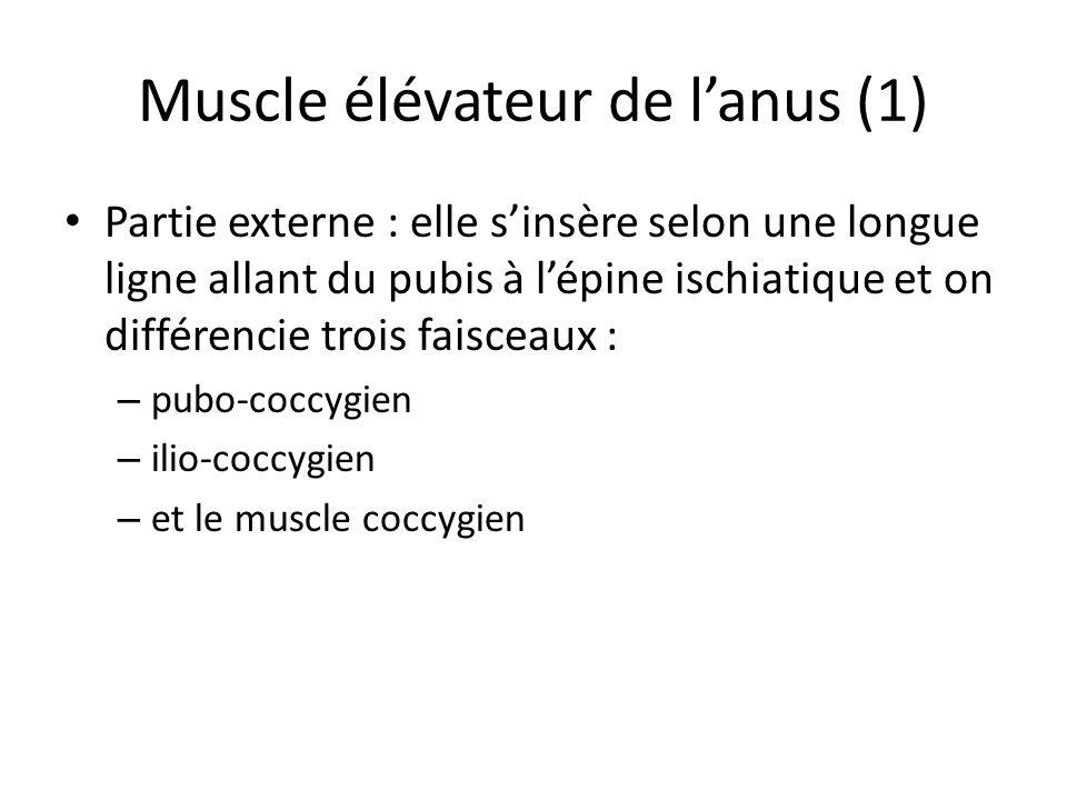 Muscle élévateur de l'anus (1)