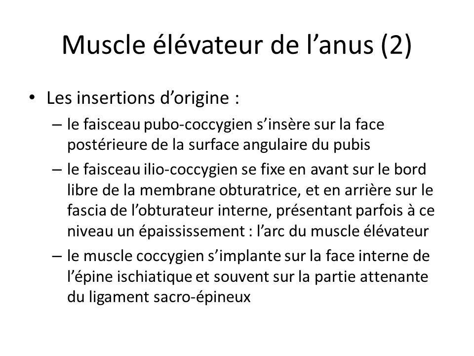 Muscle élévateur de l'anus (2)