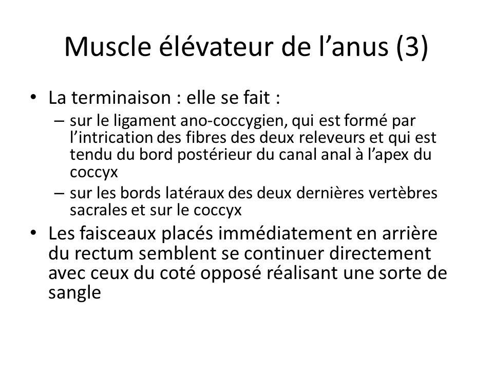 Muscle élévateur de l'anus (3)