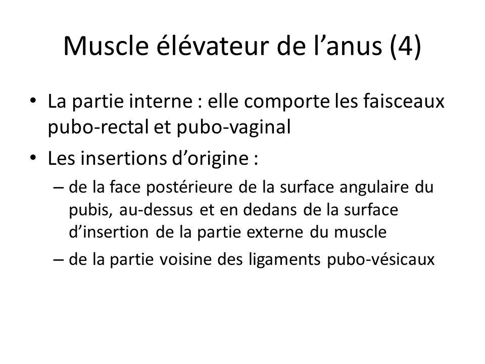 Muscle élévateur de l'anus (4)