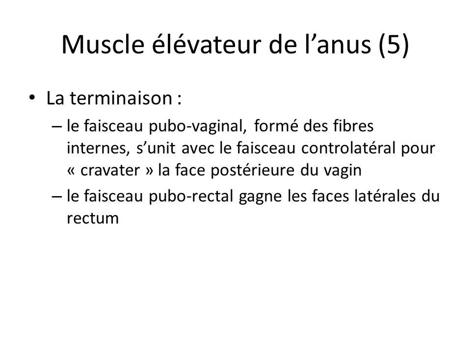 Muscle élévateur de l'anus (5)