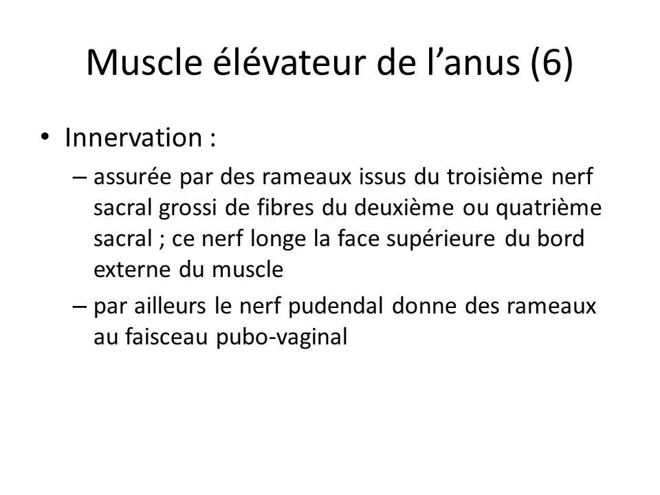 Muscle élévateur de l'anus (6)