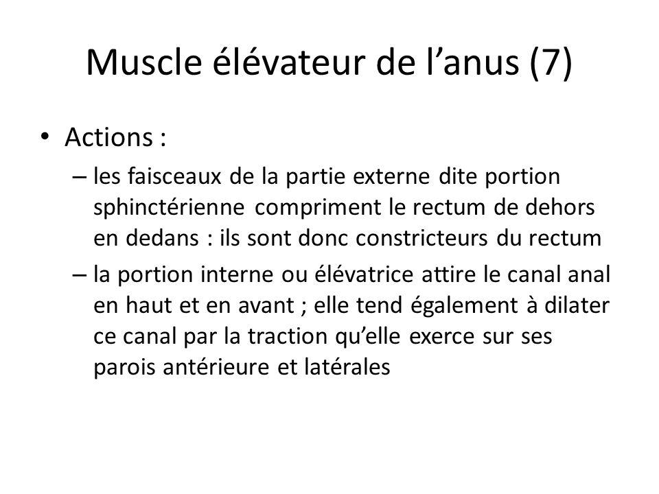 Muscle élévateur de l'anus (7)