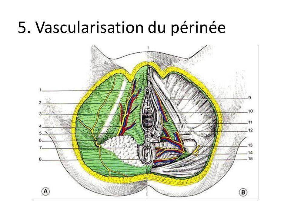 5. Vascularisation du périnée