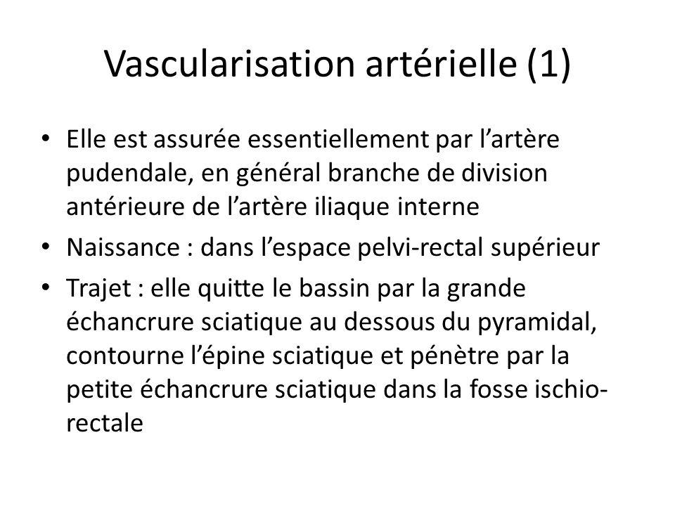 Vascularisation artérielle (1)