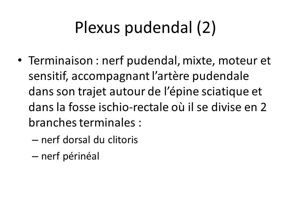 Plexus pudendal (2)