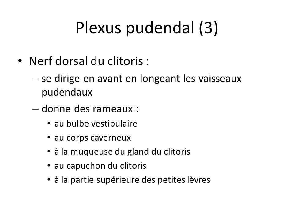 Plexus pudendal (3) Nerf dorsal du clitoris :