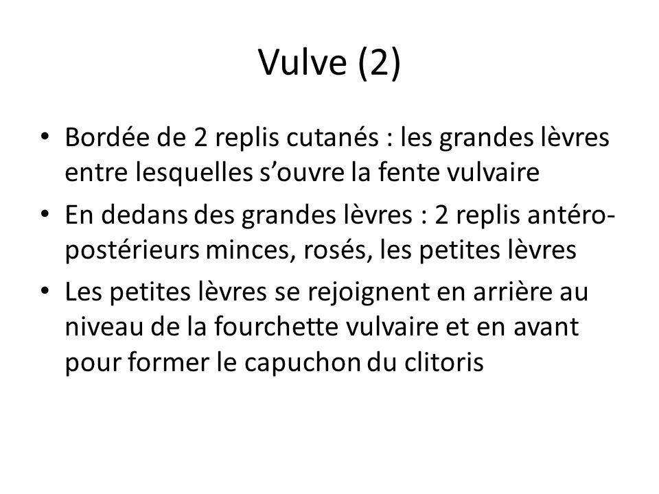 Vulve (2) Bordée de 2 replis cutanés : les grandes lèvres entre lesquelles s'ouvre la fente vulvaire.