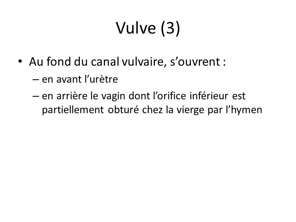 Vulve (3) Au fond du canal vulvaire, s'ouvrent : en avant l'urètre