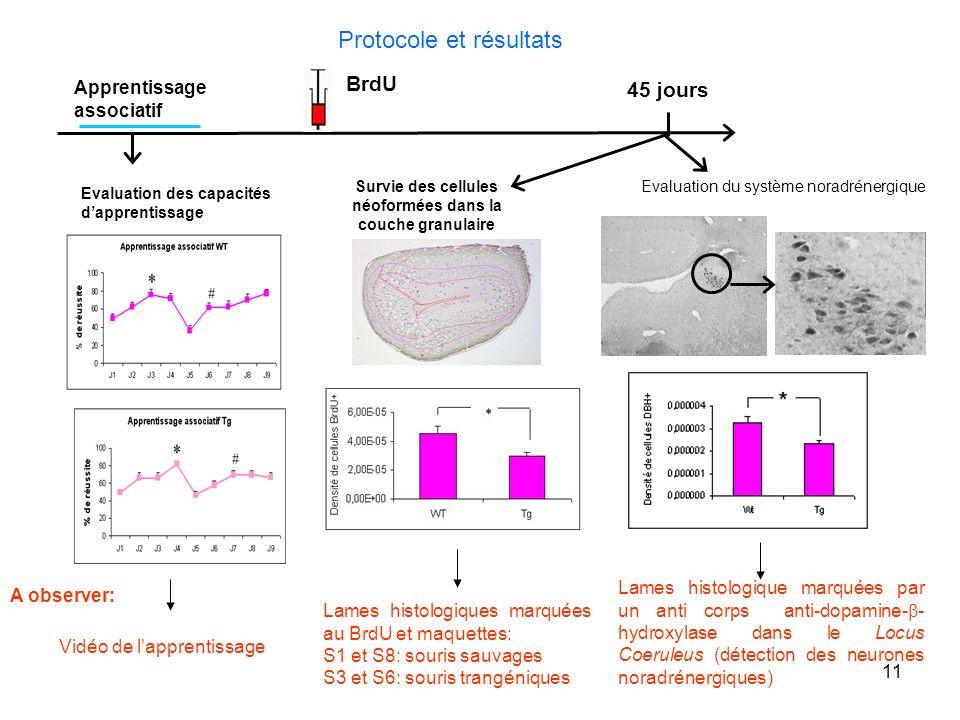 Survie des cellules néoformées dans la couche granulaire