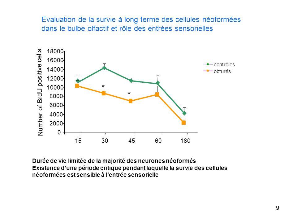 Evaluation de la survie à long terme des cellules néoformées dans le bulbe olfactif et rôle des entrées sensorielles