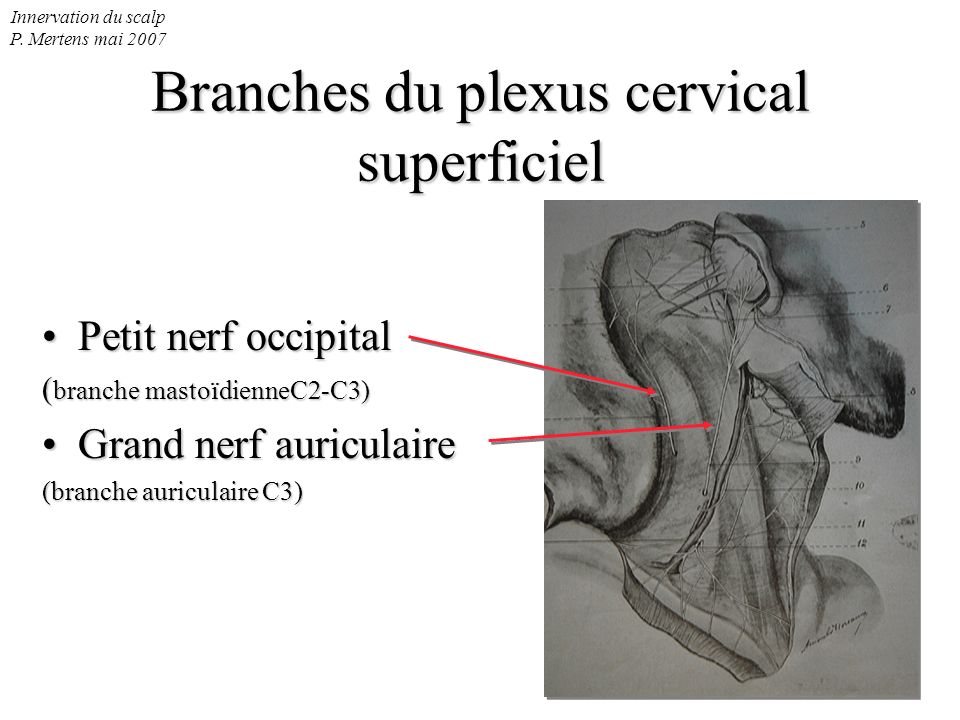 Branches du plexus cervical superficiel