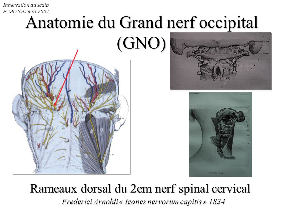 Anatomie du Grand nerf occipital (GNO)