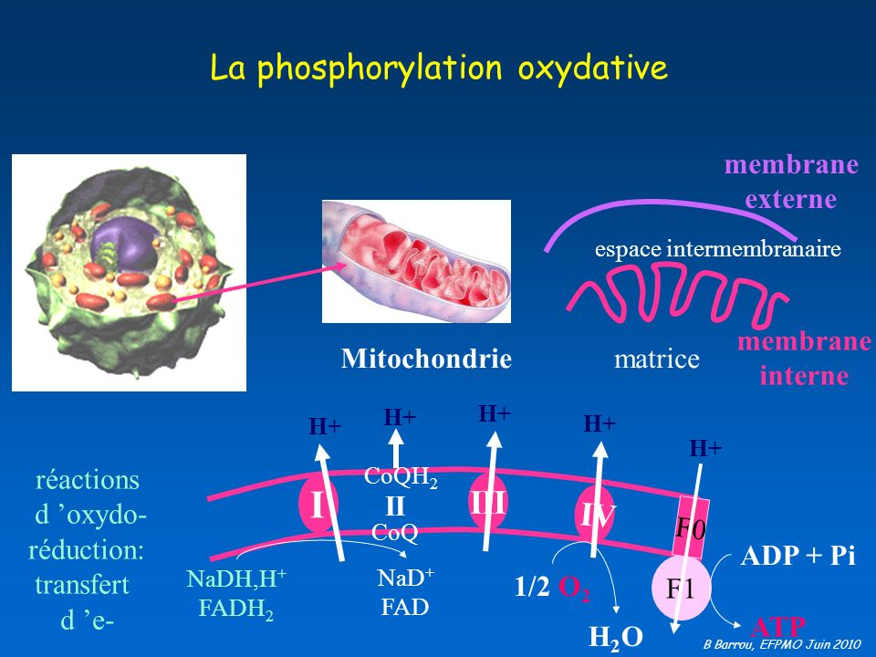 La phosphorylation oxydative