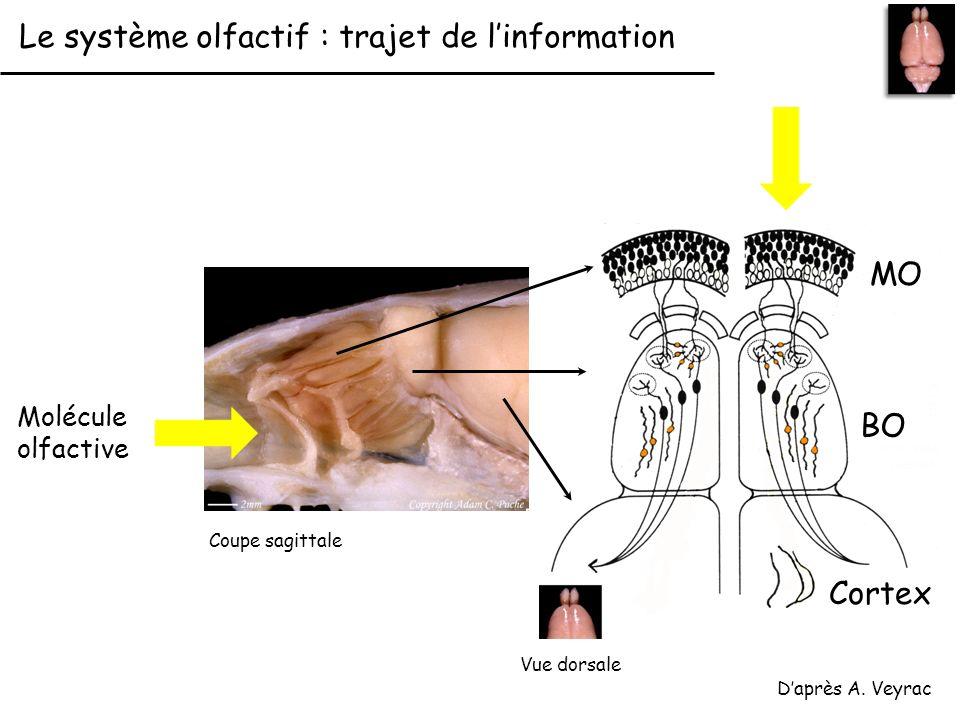 Le système olfactif : trajet de l'information