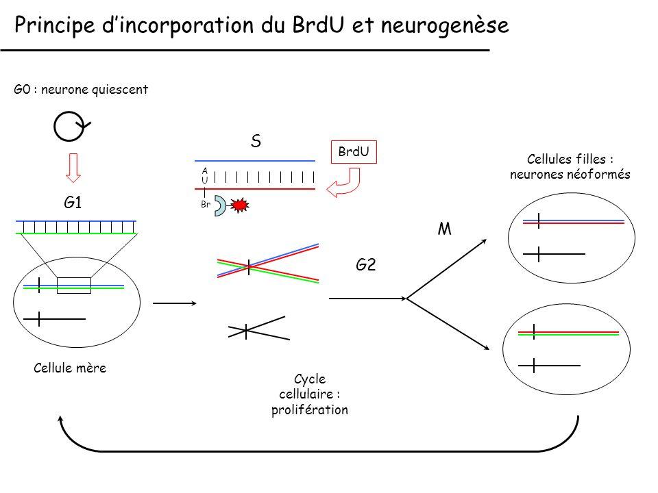 Principe d'incorporation du BrdU et neurogenèse